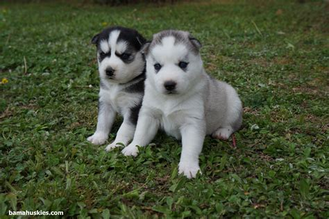 newborn husky puppies baby husky puppies 171 siberian husky puppies for sale siberian husky puppies for sale