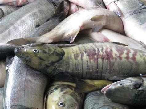 climate change could cause fish to shrink in size study global warming will shrink fish sizes seafood supply