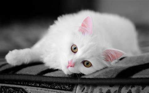 beautiful kittens beautiful cat cats wallpaper 16124046 fanpop