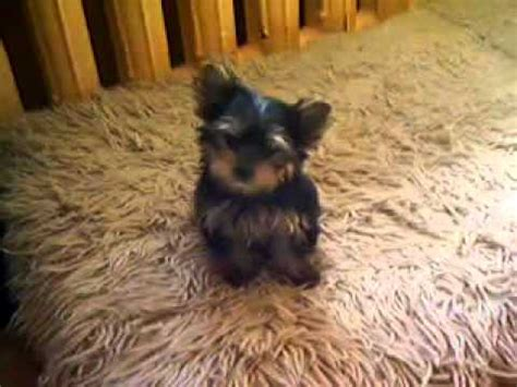 the smallest yorkie in the world the smallest yorkie puppy in the world terriers yorkies