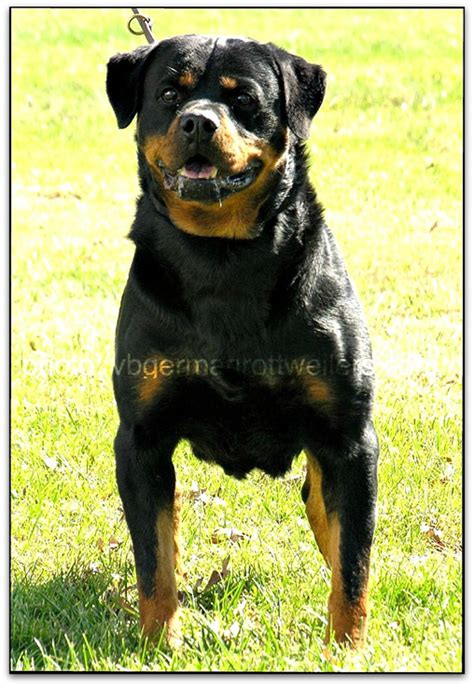 german import rottweilers german rottweiler import breeds picture