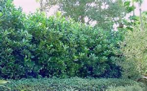 Bamboo Plant Diseases - buy awabuki viburnum 1 gallon shrubs evergreen buy plants online