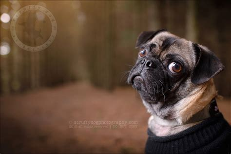 pugs ontario bo dallas giving up some pug toronto ontario pet photographer 187 scruffy