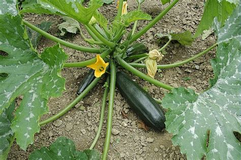 Planter Des Courgette by Comment Planter Des Courgettes