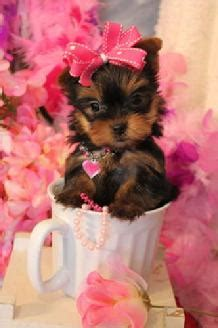 teacup yorkie puppies for sale in houston yorkie puppies teacup yorkie puppies for sale houston tx