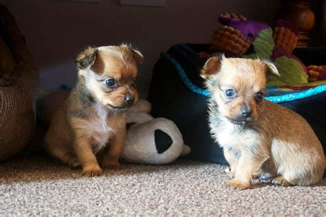 chihuahua x yorkie puppies for sale adorable chihuahua x yorkie puppies available towcester northtonshire pets4homes