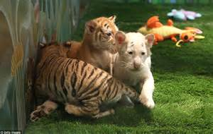 siegfried and roy debut 5 week tiger cubs at las vegas