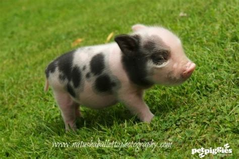 and the tr breed petpiggies micro pig piglets by balletta piggies