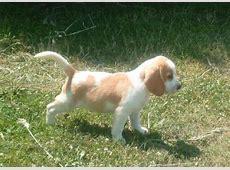 Chiot - Elevage Du gang des loups - eleveur de chiens Beagle Ioda