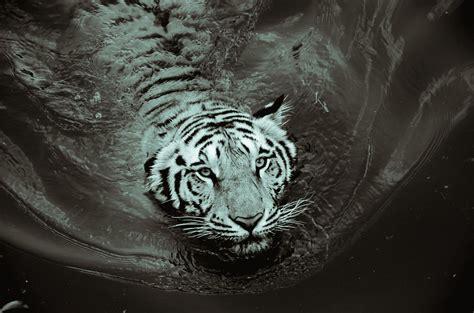 wallpaper harimau hitam close up photography of tiger 183 free stock photo