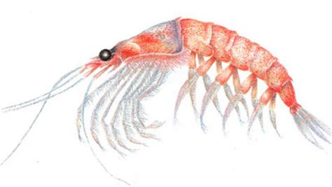 el krill un tesoro de prote 237 nas que se encuentra en el mar