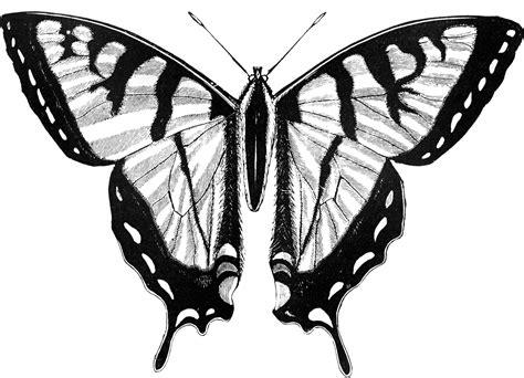 photos clipart troilus butterfly clipart etc