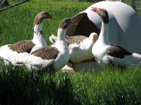 pomeranian geese pomeranian grey saddleback geese i geese grey and pomeranians