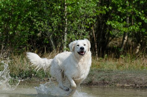 golden retriever obedience competition west wind retrievers for all your boarding needs