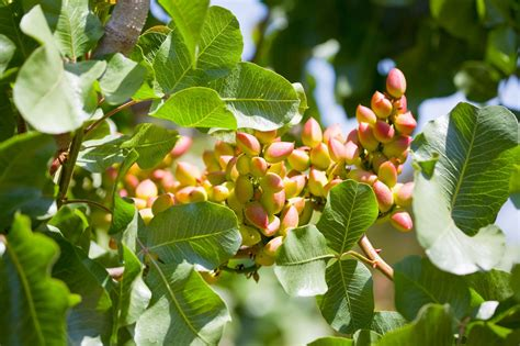 pista tree images pistachio tree care how to grow a pistachio tree