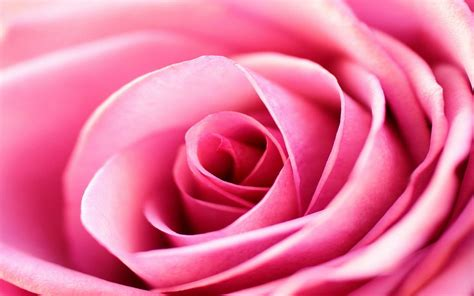 wallpaper pink rose pink rose backgrounds wallpaper cave