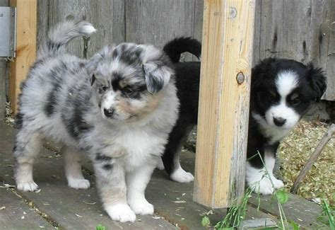 undocked australian shepherd puppies for sale 77 best images about dogs on discover more best ideas about for sale
