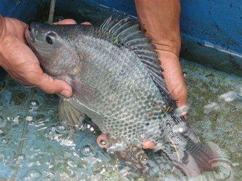 Pakan Alternatif Ikan Koki potensi budidaya ikan nila oreochromis niloticus di