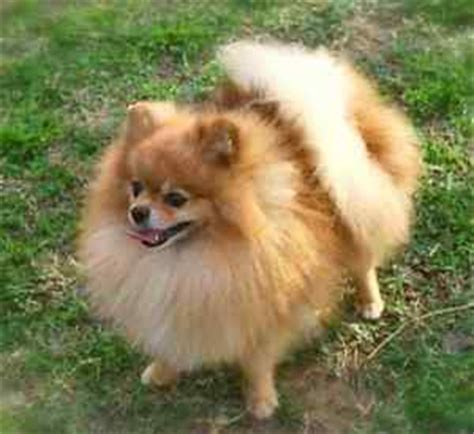 pomeranian puppy kijiji pomeranian puppies dogs puppies for rehoming kijiji