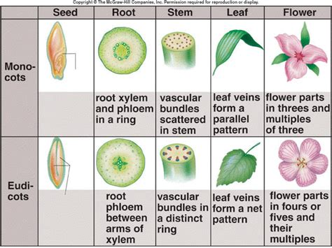 difference between monocot and dicot root cross section comparing monocot and dicot mrsrosales acaciawoodschool