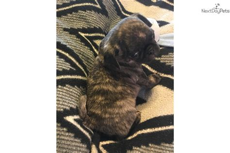 pugs for sale in fresno louie pug puppy for sale near fresno madera california 9ab678da 72d1