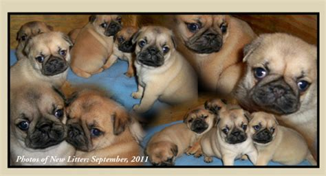 pugs for sale in kansas city mo purebred pugs for sale in kansas breeds picture
