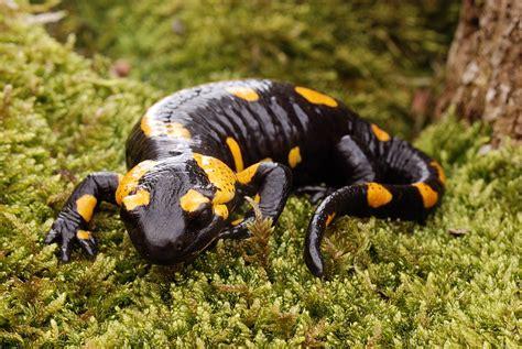 la salamandra fauna en animales salamandra