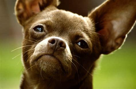 chiwawa puppy file chihuahua 001 jpg wikimedia commons