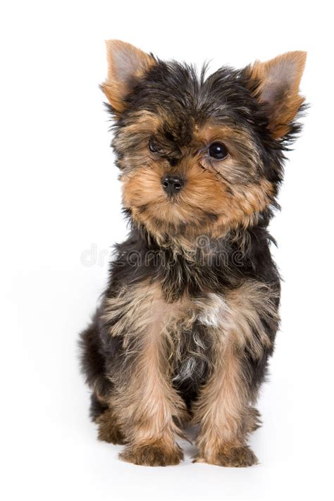 yorkie puppy pictures free terrier puppy royalty free stock images image 3672269