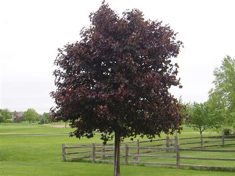 maple tree width maple crimson king 16 quot pot hello hello plants garden supplies