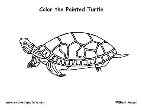 Coloring Page Painted Turtle | painted turtle coloring page