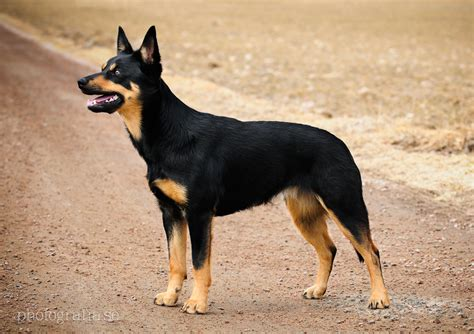 kelpie puppy australian kelpie history personality appearance health and pictures