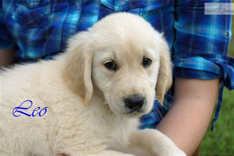 golden retriever puppies dallas golden retriever puppy for sale near dallas fort worth d81d3edf 27a1