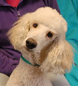 Poodle Rescue Nevada Spca Animal Rescue Brutus Standard Poodle