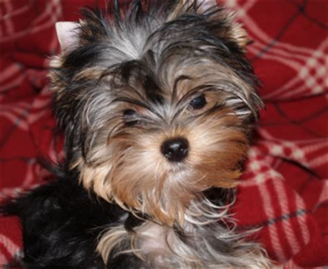 how to potty a yorkie to go outside terrier facts yorkie frequently asked questions