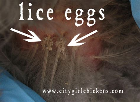 what color are dead lice eggs chicken lice city farming