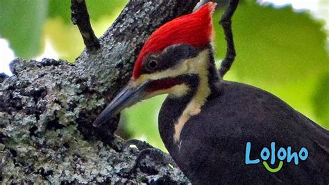 pileated woodpecker calls  drums  hour loop youtube