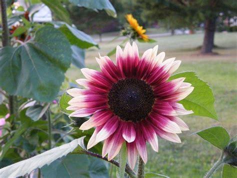 Bibit Bunga Matahari Kecil bunga matahari macam macam cara budidaya manfaat biji