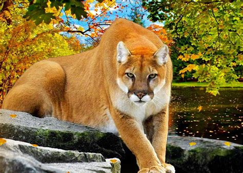 Top Cougar Facts Puma Wallpapers