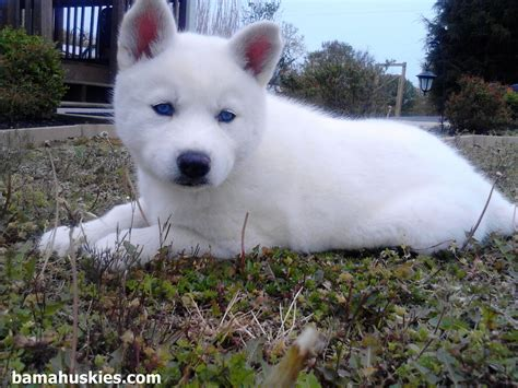 white husky puppies white husky puppy with blue siberian husky puppies for sale