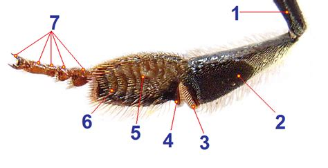 Search On Tagged File Honey Bee Hind Leg From Inside 1 Tagged Png Wikimedia Commons