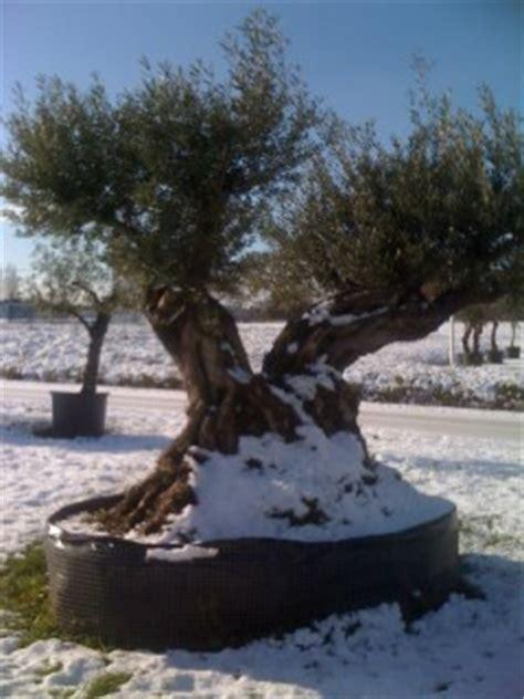 acheter un canapé en belgique sp 233 cialiste de l olivier d ornement p 233 pini 232 re en ligne l