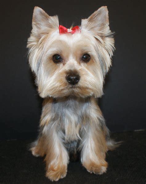 yorkie puppy grooming terrierdog 点力图库