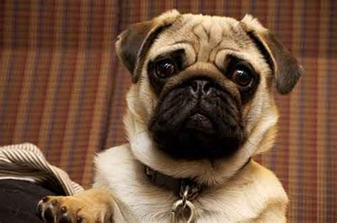 pugs that don t shed do pugs shed how to deal with the issue of pugs consistently shedding