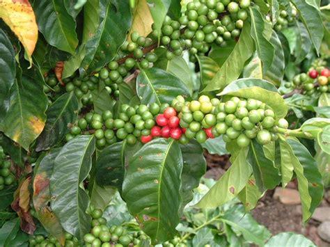pianta di caffe in vaso pianta caff 232 piante appartamento coltivare pianta