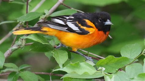 picture of a oriole bird baltimore oriole indiana audubon society
