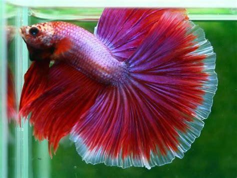 betta colors big boy betta goldfish bettas colors