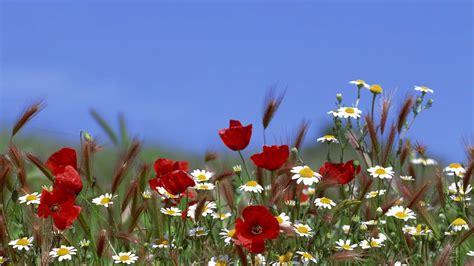 flower wallpaper 1366x768 hd hintergrundbilder wildblumen blumen mohn margeriten