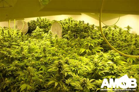 Grow Room by Grow Rooms Farms The Cannabis World No Bias Just
