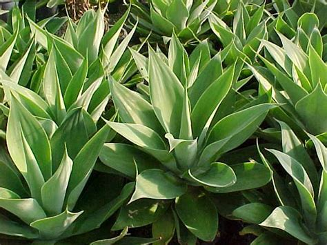 agave attenuata hello hello plants garden supplies